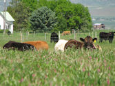 Animal behaviour and nutrition: the case for diverse pastures